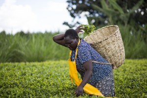 Foodservice Footprint Teresa-Kurgat-Kenyan-tea-farmer-landscape-300x200 News review: FAIRTRADE TOURS, falling fish stocks, Brazil best for beef and foodwaste startup funding Grocery sector news updates Out of Home sector news